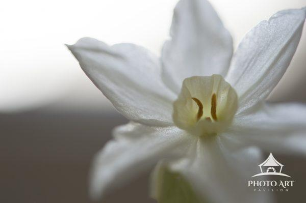 dainty paperwhites bloom during the winter in the house, perfuming the air and making one more