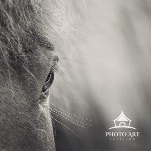 Close up of a beautiful Icelandic horse in the middle of Iceland.