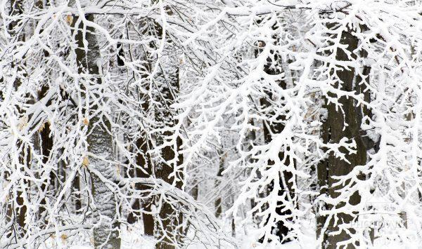 Snow covered branches on trees after Storm Orlena drops a foot of snow in Pennsylvania.