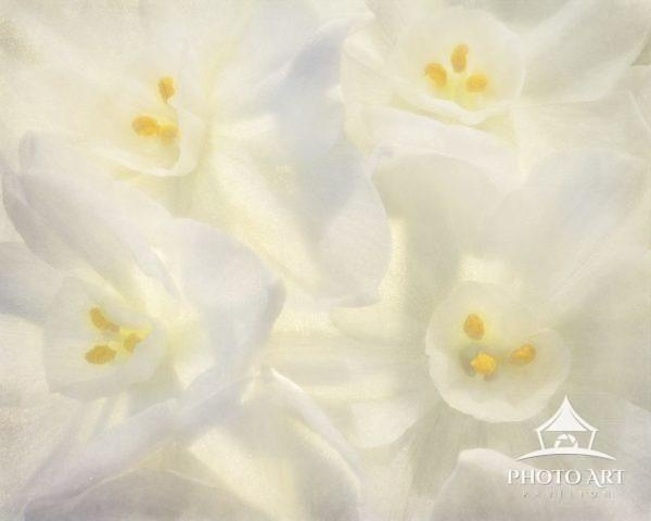 Close up macrophotography of Paper White Narcissus bulb blooms in winter.