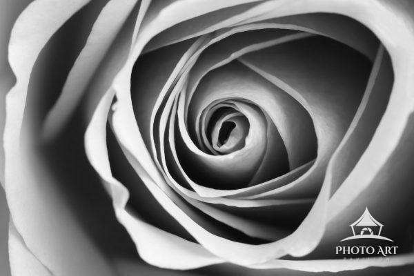 photograph of a rose in Black and White using a macro lens.