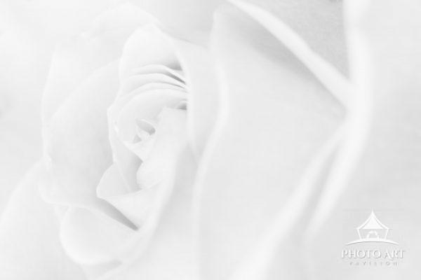 high key rose in black and white with great lines