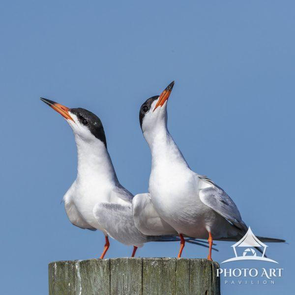 Common Tern couple just hangin' on a piling