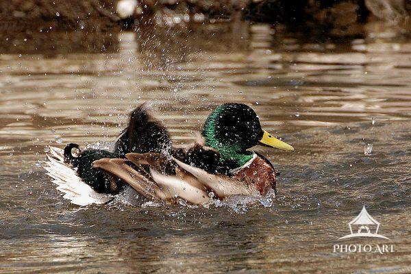 Male Duck washing himself in a Chenango County river stream