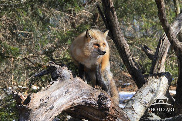 Curious Fox on fallen tree trunk