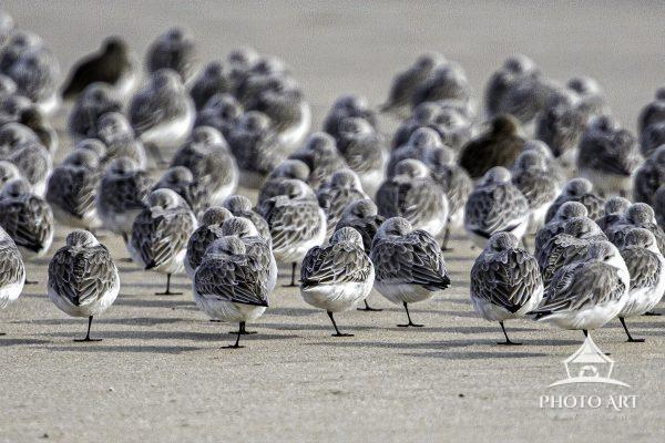 Sanderlings huddle along the ocean shore on a cold January day. The birds stand on one leg keeping