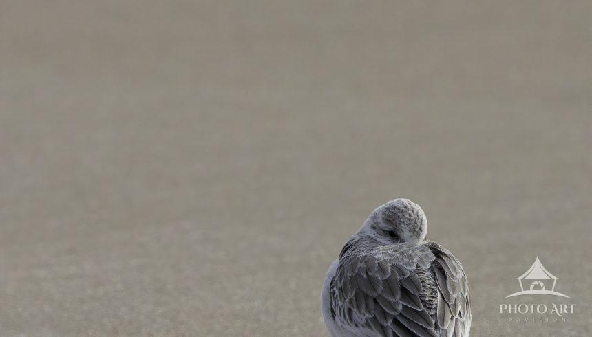 A solo sanderling stands alone from the huddle on one leg to stay warm on this cold January day. One
