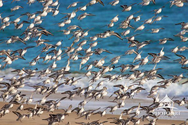 Sandeling flock takes flight filling the frame.