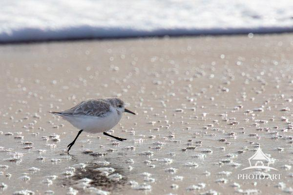 A lone sanderling runs along the shore to catch up with the flock. This backlit image is detailed