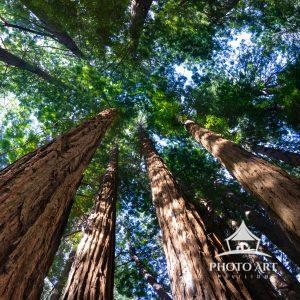 Wandering along John Muir's path looking up through the redwood canopy.