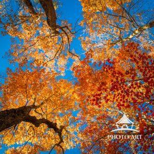 Looking up through the fall canopy toward a brilliant blue November sky.