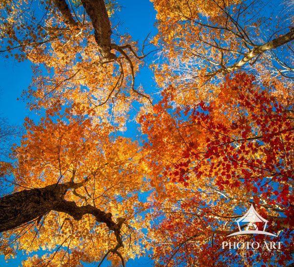 Looking up through the fall canopy toward a brilliant blue November sky.