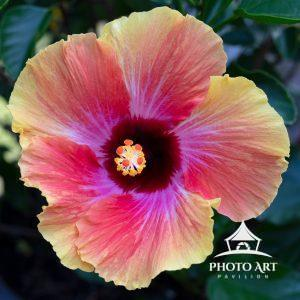 Huge and colorful hibiscus bloom