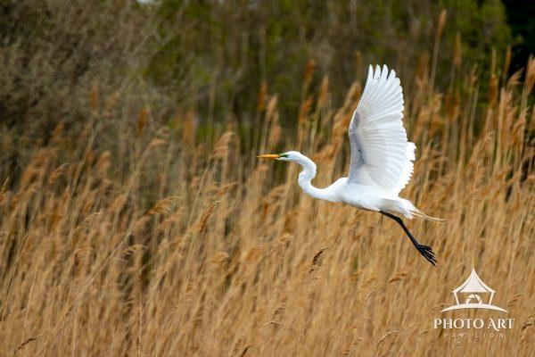 Egret takes flight into a strong east wind with sun shining through it's wings, just before a