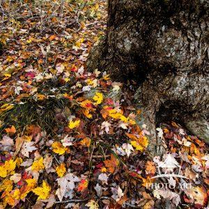 Autumn leaves on the ground around the trunk of a large tree.