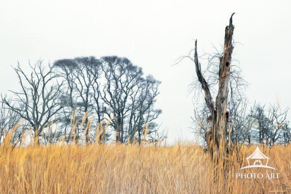 On old dying tree covered in vines and surrounded by phragmites and beach grass in winter. Color
