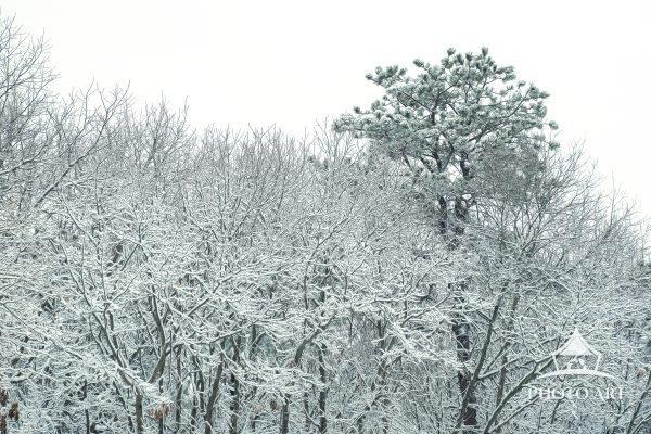 One pine tree above the other trees all covered with ice and snow. Color photograph.