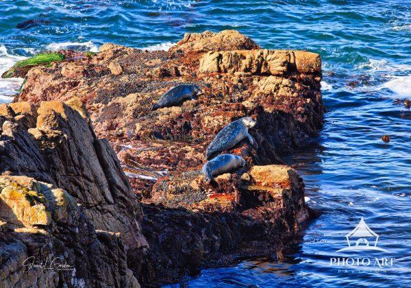 Harbor seals sunning themselves on sea stacks off the coast of Pebble Beach, California, USA.