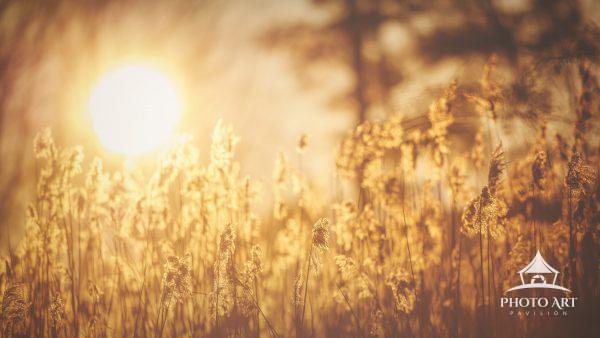 Warm winter sun shines through trees and illuminates the golden reeds by Exton Pond, Pennsylvania.