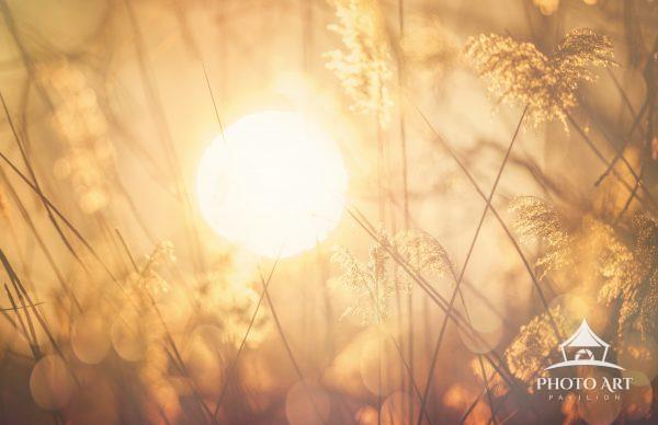 Sunrise through the golden reeds at Exton Park, Pennsylvania in winter.
