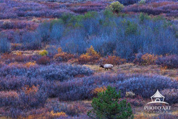 A bull elk looking for a mate during rutting season in autumn in Grand Teton National Park, Wyoming,