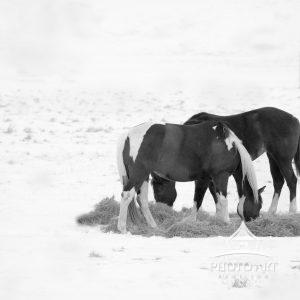 A glimpse of horse life in winter, as seen in Montauk on a cold day in February.