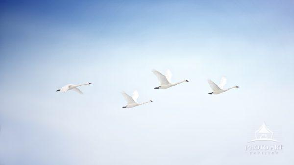Four Tundra Swans fly against a bright blue sky in early morning at Middle Creek, Pennsylvania.