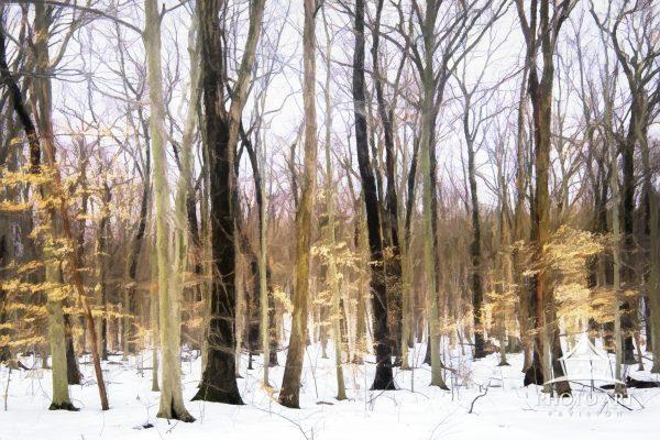 Beautiful trees in gold against snow and winter landscape at Middle Creek, Pennsylvania.
