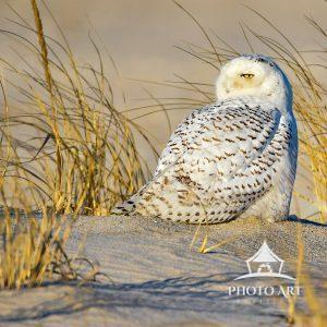 Snowy Owl keeping one bright eye on his surroundings