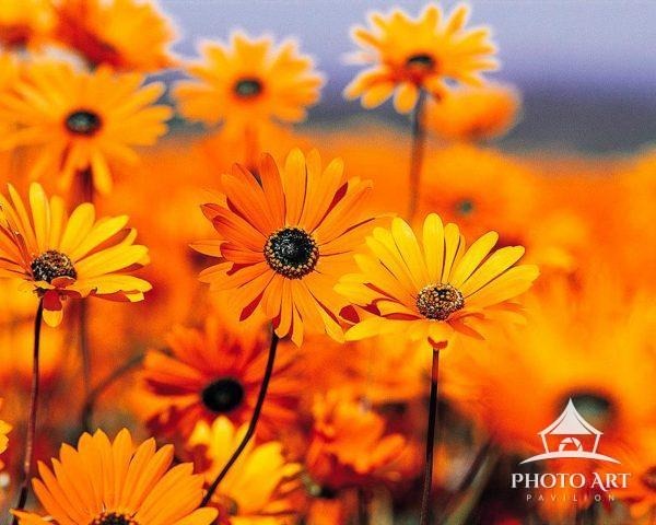 Golden yellow-orange daisies, radiantly bathed in sunshine, brings to mind those glorious warm and