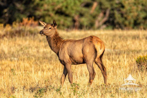 A female elk remains on high alert after hearing the bugle call of a nearby bull elk during the