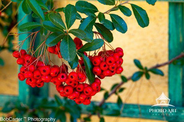 Berries by lattice