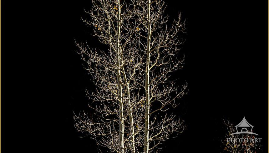 A grouping of three almost bare Aspens. Just a handful of golden leaves hang on. I love the curves