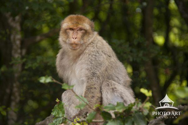 Rhesus Macaque monkey. Sitting in a tree for a better view.