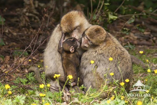 Family of Rhesus (Macaque) monkeys. Parents are caring for and protecting their baby in the forest.