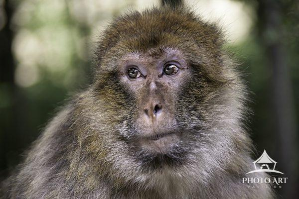 Rhesus Macaque monkey watching over his domain in the forest.